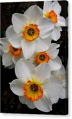 Narcissus Tazetta Canvas Print by Kathleen Stephens