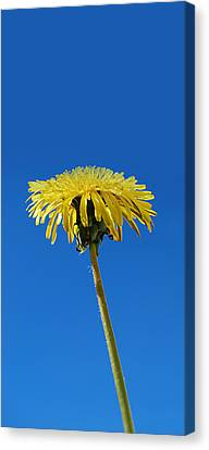 Canvas Print featuring the photograph Narrow Poster - Little Piece Of Sunshine  by Marilynne Bull