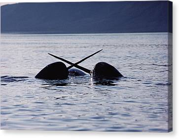 Monoceros Canvas Print - Narwhal Males Sparring Baffin Island by Flip Nicklin