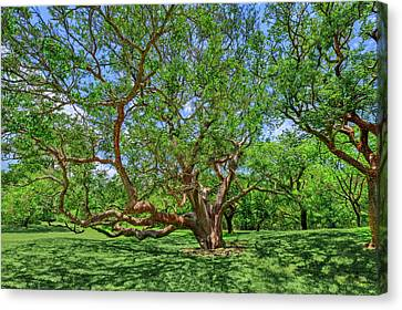 Canvas Print featuring the photograph National Champion Gumbo Limbo Tree  -  Championgumbolimbotree135360 by Frank J Benz