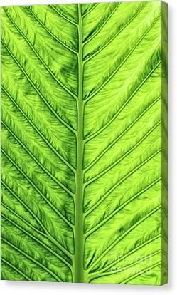 Cunjevoi Lily Leaf Canvas Print