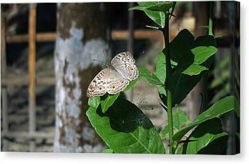 Butterfly Canvas Print by Bigrai Boro