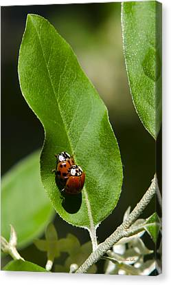 Nature - Love Bugs Canvas Print by Christina Rollo