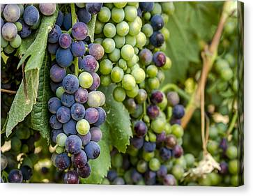 Natures Colors In Wine Grapes Canvas Print by Teri Virbickis