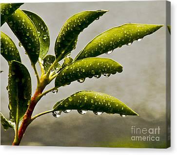Early Morning Raindrops Canvas Print by Carol F Austin
