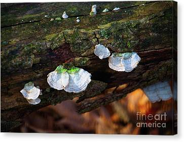 Natures Ruffles - Cascade Wi Canvas Print by Mary Machare
