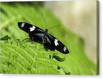 Neat Tropical Butterfly Resting Canvas Print