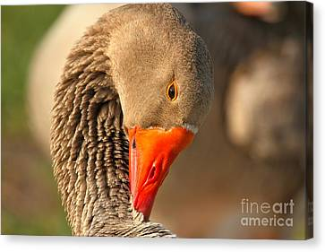 Neck Cleaning Canvas Print by Adam Jewell