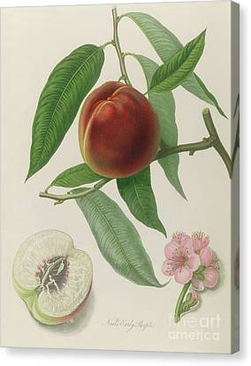 Nectarine Canvas Print by William Hooker