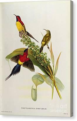 Nectarinia Gouldae Canvas Print