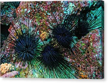 Needle Sea Urchin Canvas Print by Sami Sarkis