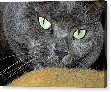 My Nellie-belle's Catitude Canvas Print