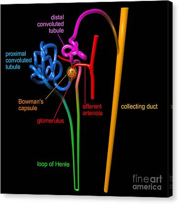 Canvas Print featuring the digital art Nephron Black With Coloured Labels by Russell Kightley