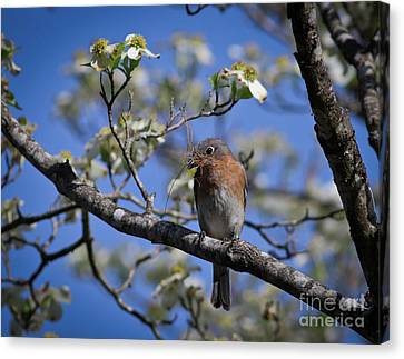 Canvas Print featuring the photograph Nest Building by Douglas Stucky