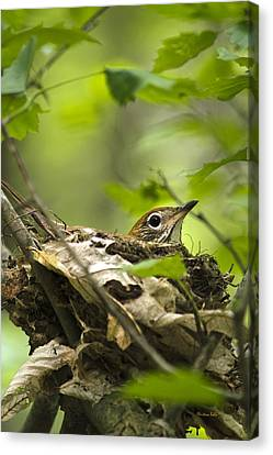 Nesting Birds - Wood Thrush Canvas Print by Christina Rollo