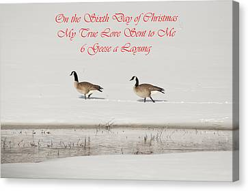 Nesting Canada Geese Canvas Print