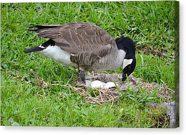 Nesting Canada Goose With Eggs Canvas Print by Richard Bryce and Family