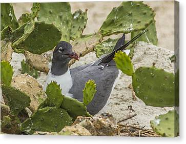 Canvas Print featuring the photograph Nesting Laughing Gull by Paula Porterfield-Izzo