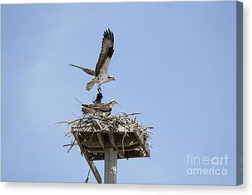 Nesting Osprey In New England Canvas Print by Erin Paul Donovan