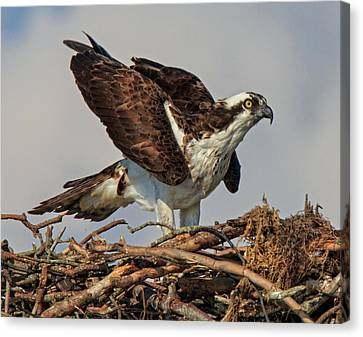Canvas Print featuring the photograph Nesting by Robert Pilkington