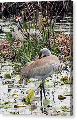Nesting Sandhill Crane Pair Canvas Print