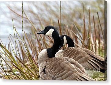 Geese Canvas Print - Nesting Time by Sharon Talson