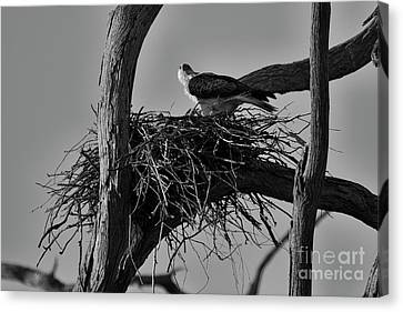 Canvas Print featuring the photograph Nesting V2 by Douglas Barnard