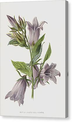 Nettle-leaved Bell-flower Canvas Print by Frederick Edward Hulme
