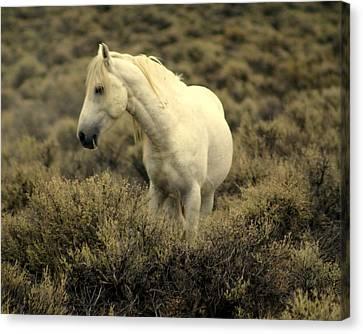 Nevada Wild Horses 4 Canvas Print by Marty Koch