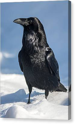 Nevermore Canvas Print by Jack Bell