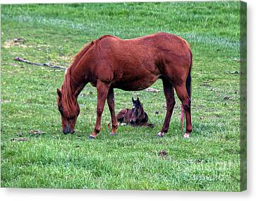 New Colt Canvas Print by Robert Bales