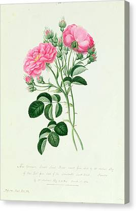 In Bloom Canvas Print - New Crimson Double Sweet Briar Of New York by Pierre Joseph Redoute