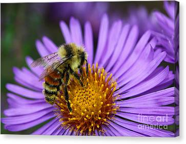 New England Aster And Bee Canvas Print by Steve Augustin