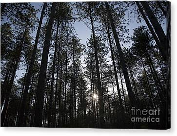 New England Red Pine Forest Canvas Print by Erin Paul Donovan