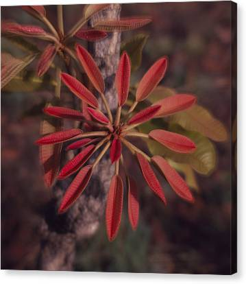 New Growth On A Shea Tree Canvas Print by David Pluth
