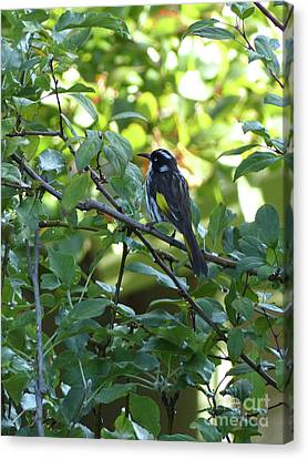 New Holland Honeyeater Canvas Print by Phil Banks