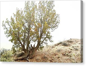 Canvas Print featuring the photograph New Mexico Desert Southwest Tree by Andrea Hazel Ihlefeld