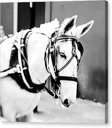New Orleans Carriage Mule Canvas Print by Scott Pellegrin