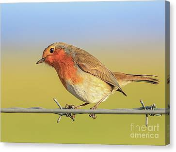 New Year Robin Canvas Print by Roy McPeak