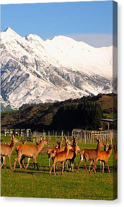 New Zealand Deer 3497 Canvas Print by PhotohogDesigns