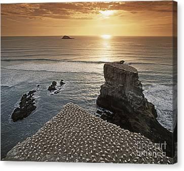 new zealand gannet colony at muriwai beach ,gannet fly from Muri Canvas Print