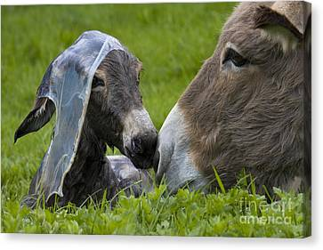 Newborn Donkey Canvas Print