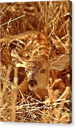 Newborn Fawn Canvas Print by Mark Duffy