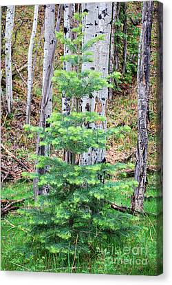 Canvas Print featuring the photograph Next Years Christmas Tree by Donna Greene