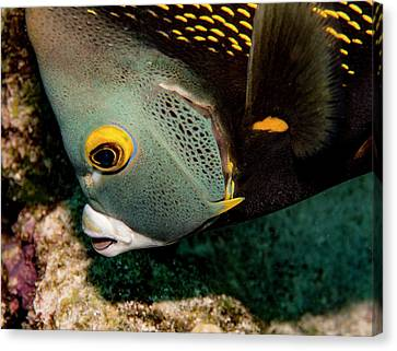 Nibbling French Angel Fish Canvas Print by Jean Noren
