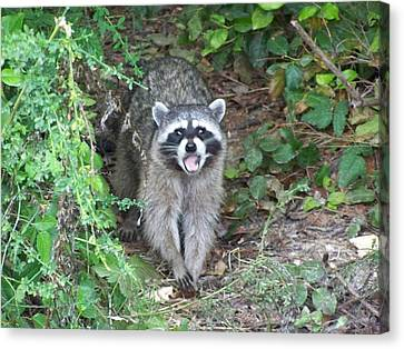 Nick The Raccoon Canvas Print by Laurie Kidd