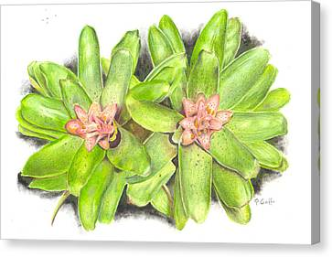 Nidularium Rutilans Canvas Print