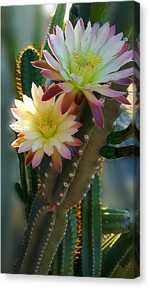 Night-blooming Cereus 4 Canvas Print by Marilyn Smith
