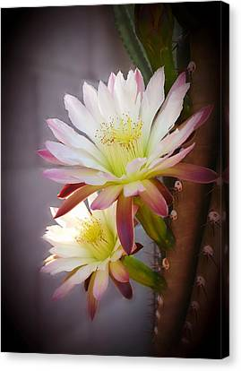 Canvas Print featuring the photograph Night Blooming Cereus by Marilyn Smith