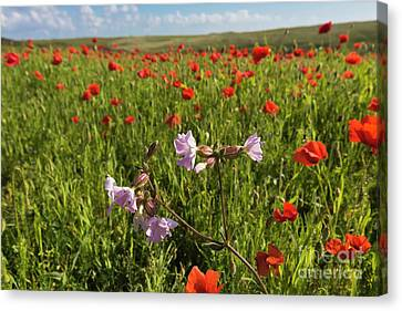 Night Flowering Catchfly And Poppies Canvas Print by Terri Waters